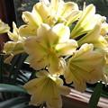 黄色い君子蘭 3