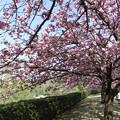 八重桜 5