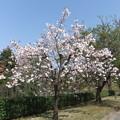八重桜 7