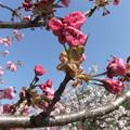 八重桜 8