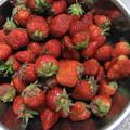 菜園の苺を採る