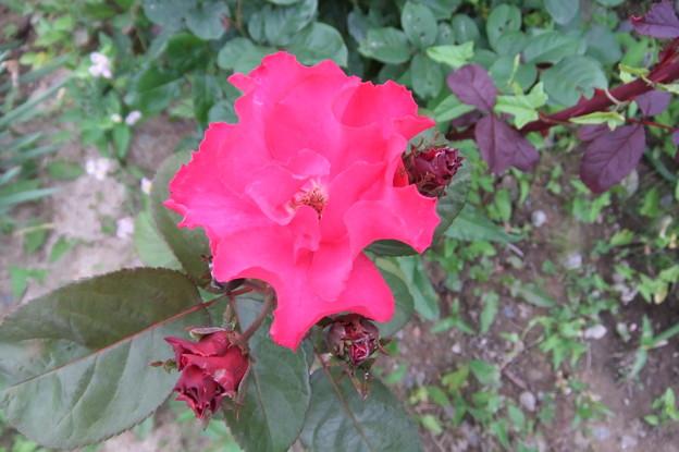 一重のバラ