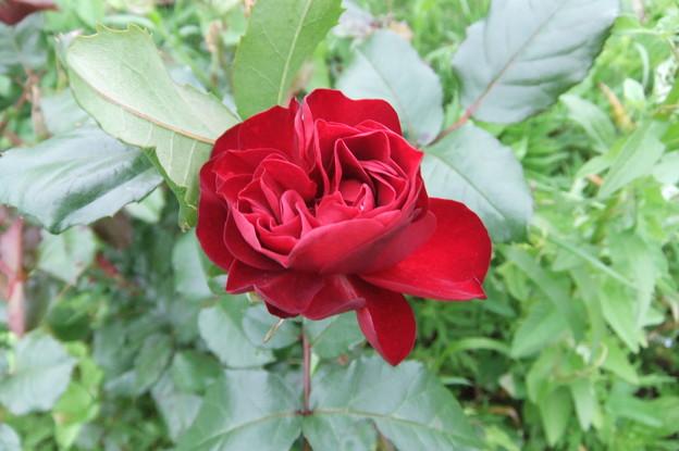 手触りがビロードのバラ