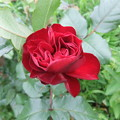 写真: 手触りがビロードのバラ