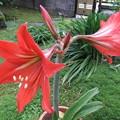 写真: アマリリス 4個の花芽が