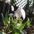 写真: 白いシランの花
