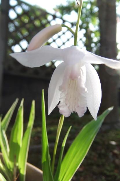 写真: 白いシランの花2