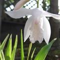 白いシランの花2