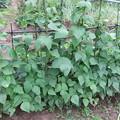 写真: インゲン豆の棚