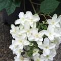 柏葉紫陽花 3