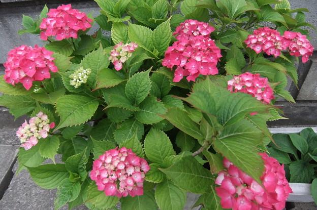 鉢植え紫陽花