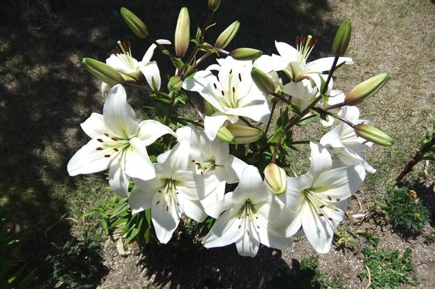 ユリの花 1