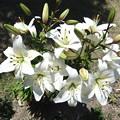 写真: ユリの花 1
