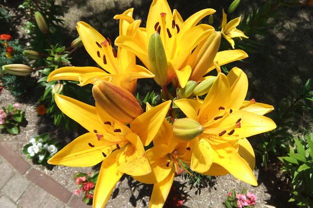 ユリの花 2