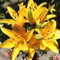写真: ユリの花 2
