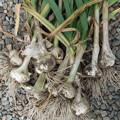 写真: 青森ホワイト六片 菜園で栽培