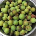 写真: 田舎で採れた梅