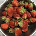 家庭菜園の苺は四季なり苺