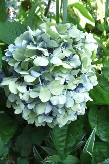 紫陽花の花  1