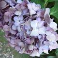 紫陽花の花  2