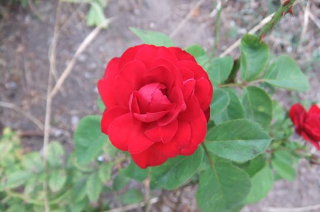 バラの花 1