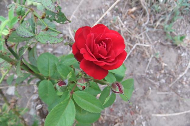 バラの花 2