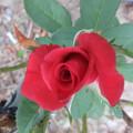 バラの花 3