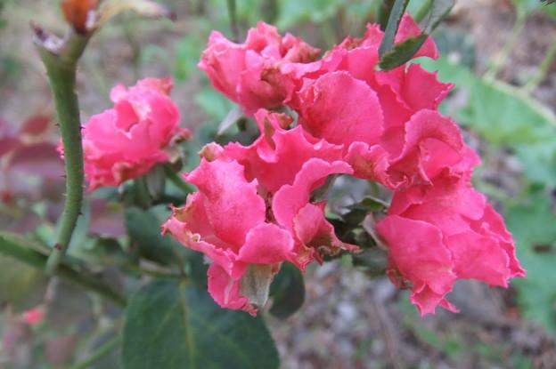 バラの花 4
