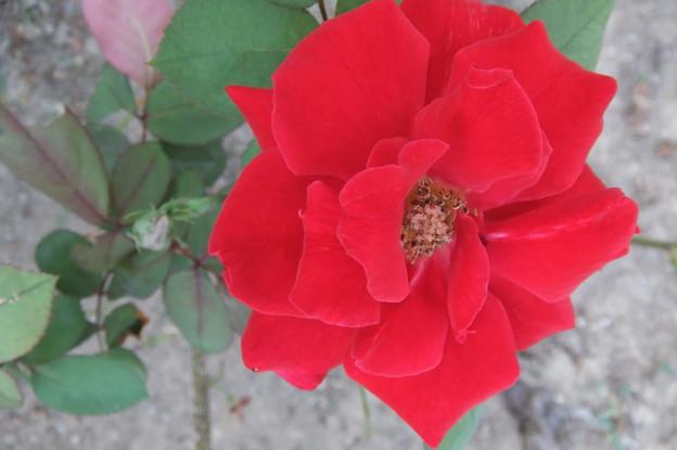 ローズ大阪 二番花