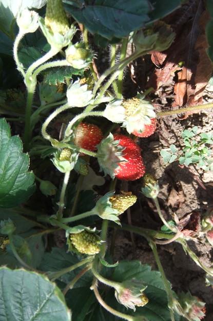 四季なりの苺
