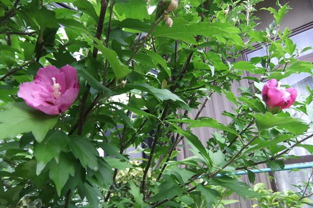 ムクゲの花