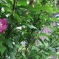 写真: ムクゲの花