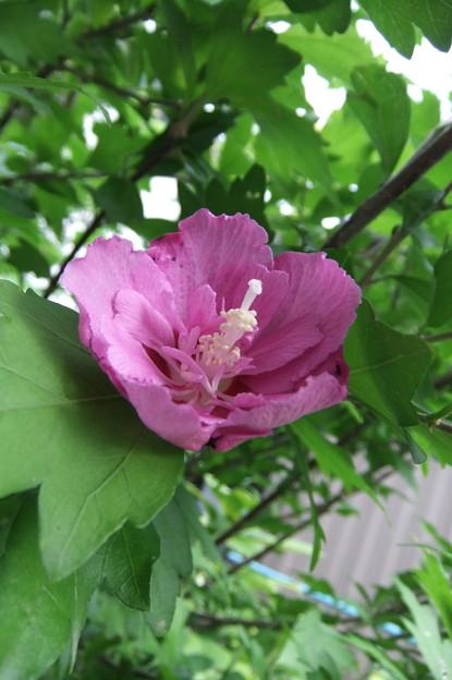 ムクゲの花 2