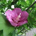 写真: ムクゲの花 2