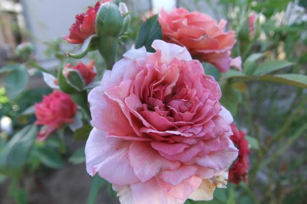 バラの花 一