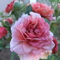 写真: バラの花 一