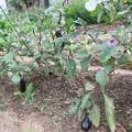 家庭菜園の茄子 2