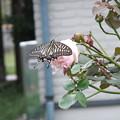 バラとアゲハ蝶 1