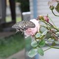 バラとアゲハ蝶 2