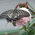 バラとアゲハ蝶 3