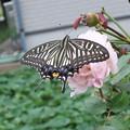 バラとアゲハ蝶 4