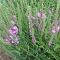 家庭菜園の虎の尾