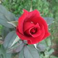 赤いバラ 1