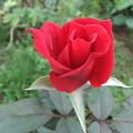 赤いバラ 2