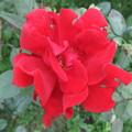 赤いバラ 3