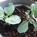 Photos: こぼれ種で育った葉牡丹