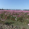 写真: 宮ノ下のコスモスの花  1