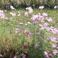 写真: 宮ノ下のコスモスの花  2