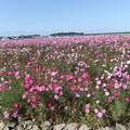 写真: 宮ノ下のコスモスの花  3