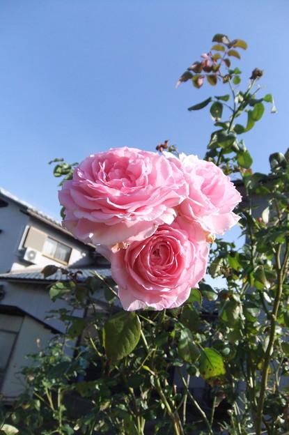 秋薔薇 1